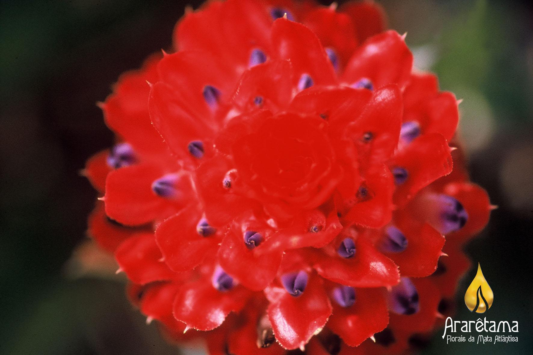 Bromelia 1